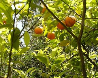 Orange citrus aurantium cut menu sheet in bulk - bag of 100 g for herbal tea