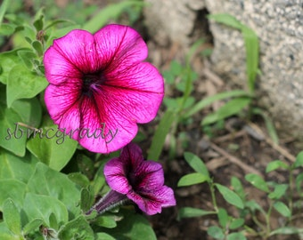 PHOTO PRINT: Pink Morning Glory Flowers