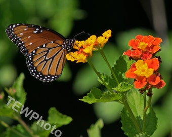 Texas Beauty. Butterfly pollinating a wildflower near Lake Travis in Austin Texas
