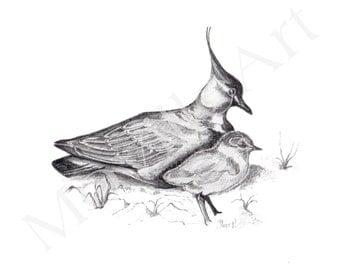 Lapwing + Chick