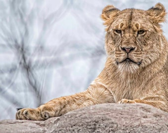 Lion Cub, posing