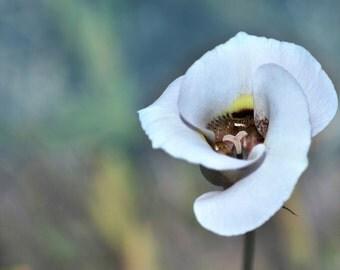 Clay Mariposa Lily