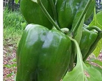 Homegrown Organic Bell Pepper Seeds - Free Shipping