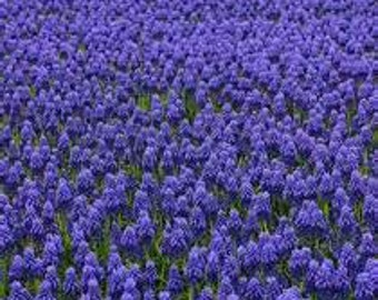 FREE SHIP 50 Grape Hyacinth Bulbs  Purple Flowers **SALE**