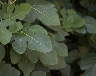 Fig Leaves - botanical photograph - green leaf nature photography art woodland detail