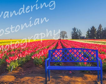 Bench by the tulips