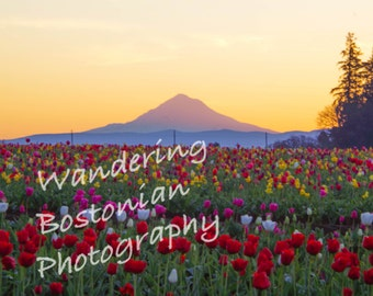 Mount Hood at Sunrise in the tulip fields