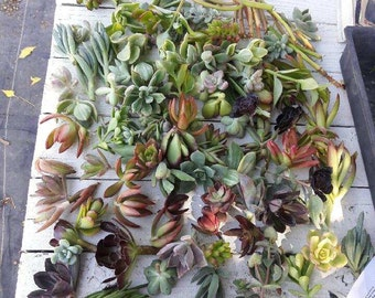 300 Succulent Cuttings