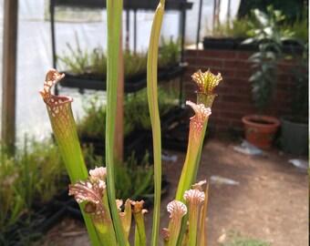 White top leucophylla carnivorous pitcher plant