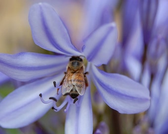 P9 - Bee in Agapanthus 3