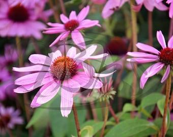 Echinacea Flower