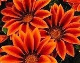 Gazania Big Kiss Orange Flame Seeds - 50% bigger flowers