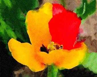 Yellow Red Tulip