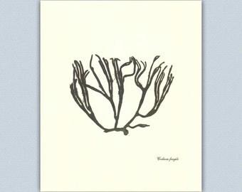 Seaweed art, Nautical art, botanical pressing, single pressed Seaweed, Botanical-Nautical Art, beach cottage decor, coastal living 8x10