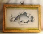 Antique Fish Engraving William Home Lizars Custom Framed 1840s