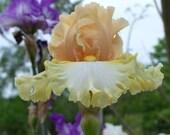 Feminine Fire,one iris rhizome