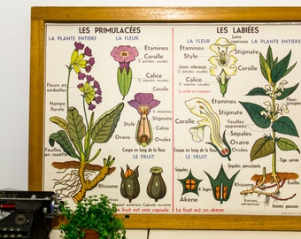 Natural Science Chart - French vintage poster - Solanaceous (potatoes) Primulaceae and Labiatae plants