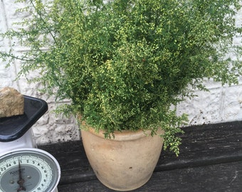 Sweet Annie Half Pound Freshly Harvested Artemesia Annua