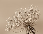 Queen Annes lace, dried flowers, seed heads, muted palette, sepia photo, rustic decor, minimalist, nature photography, art print, beige