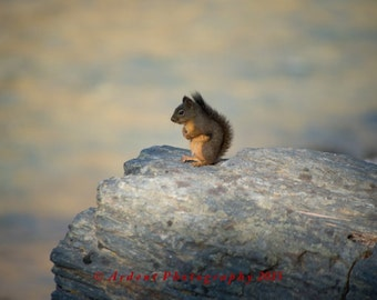 Morning Squirrel on a rock Cascade Mountains Washington State - Home or Office Decor - Art Photography by Sarah McTernen
