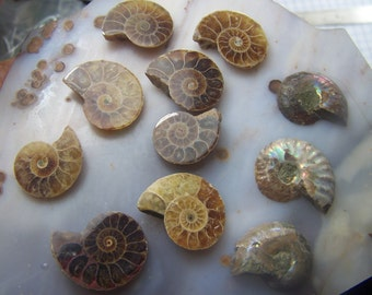 Ammonite fossils - genuine fossilized shell millions of years old natural - polished specimens - half spiral small - some opalized ammolite