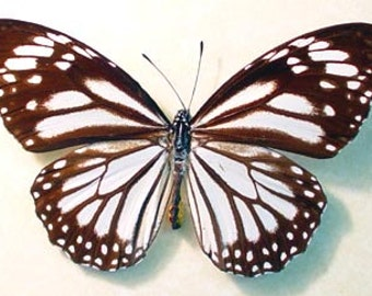 Real Framed Danaus Melanippus The White Tiger Butterfly 1056