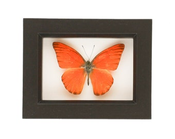 Mounted Orange Butterfly Display Shadowbox