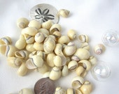 "Beach Nautical Seashells - Creamy Yellow Nerite Shells - 3x4"" Bag"