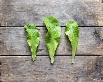 Buttercrunch Lettuce, organic seeds, heirloom seeds, organic vegetable gardening, organic lettuce seeds, gardening, vegetable seeds