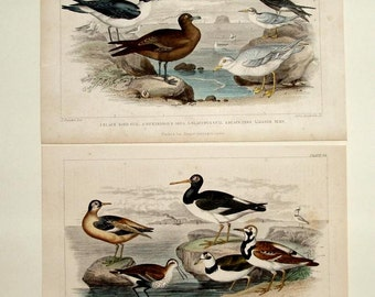 SET of 2 ANTIQUE GULL prints, 1860's hand colored engravings, Tern, water birds, brown, gray, teal, blue, beige, sea green,ivory,navy,green