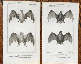 set of 2 - ANTIQUE BAT ENGRAVINGS original antique prints from 1816  - cheiroptera vampire bat - flying fox - fruit bat - no. 7 & 8