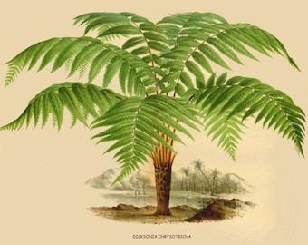 antique french victorian botanical print tree fern dicksonia illustration digital download