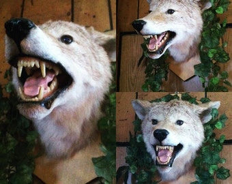 Vintage Taxidermy Coyote Mount