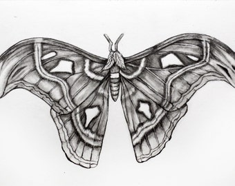 Original Pencil Drawing - Hawk Moth 18