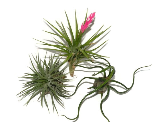Air plants for sale. Group of 3  healthy plants. Can live happily under fluorescent light.
