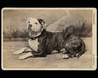 Great 19th Century Pit Bull Dog Cabinet Card Photo
