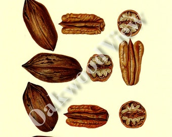 Pecan Varieties Print, Vintage 1994 8x12 Color Home Decor, Pecans Nut Nuts, Botany Botanical Art, FREE SHIPPING