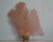 "9.5"" x 14"" Natural Red Color Sea Fan Seashells Reef Coral"