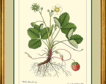 WILD STRAWBERRY - Vintage Botanical print Reproduction - 301