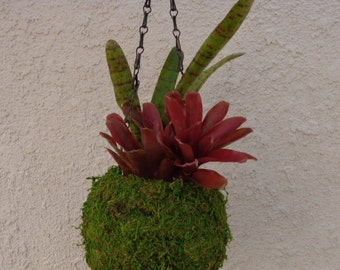 "6"" Moss Ball Hanging Planter Bromeliad Kit With Chain and Live Bromeliads  FREE SHIPPING"