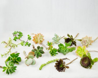 Free Shipping 15 Mix Succulent Cuttings - Assorted Varieties # 9359_1