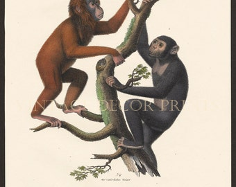 Orangutan and Chimpanzee Original 1827 Engraving by Joseph Brodtmann for H.R.Schinz Hand Coloured Engraving Decorative Natural History Print