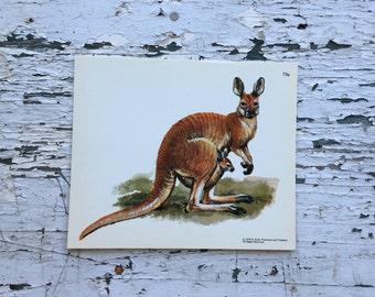 Vintage kangaroo print