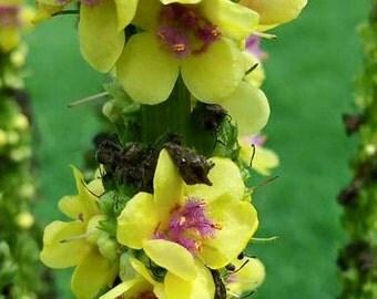 Mullein Seeds  -  Verbascum nigrum - Dark Mullein  -  Yellow -- Medicinal Herb