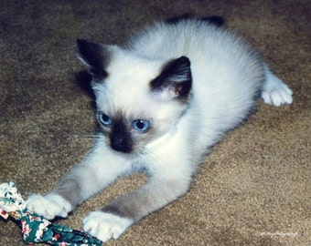 White Kitten / Blue Eyed Kitten / Burmese Kitten / 5x7 Free US Shipping
