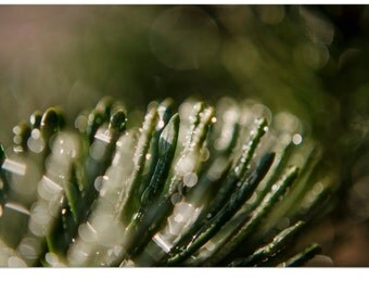 Lovely Dew Drops on Pine Needles Macro Nature Photography