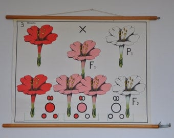 Mid Century Biology Classroom Chart. Mendel's Law in Mirabilis. Flower. Science. Pull Down School Poster. Pink. Red. Vintage Dutch. 1131