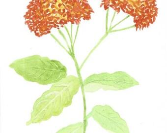 Original Watercolor Artwork - Lantana - Verbenaceae - in Orange and Yellow - Nature Art - Botanical