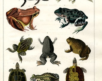 Amphibians hand colored print published 1842 large print original authentic print natural history aquatic life ocean life frogs