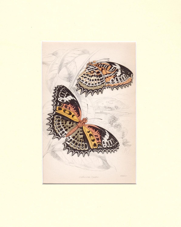 Custom Matted 1833 Antique Butterfly Print Butterflies